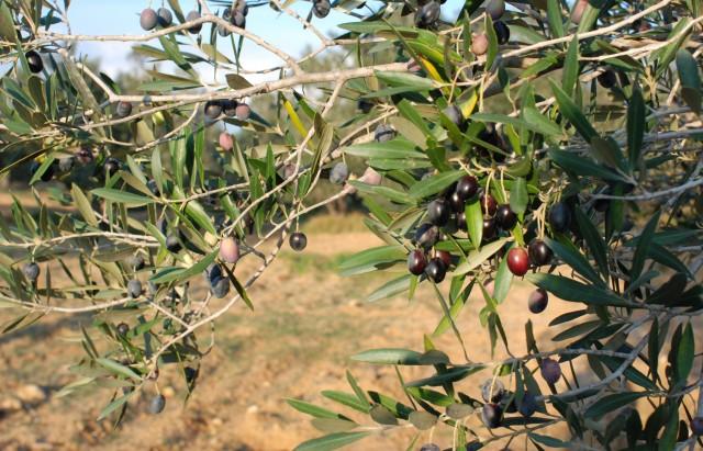 olive-7_bd